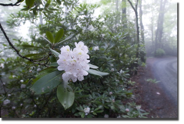 Common_rhodo