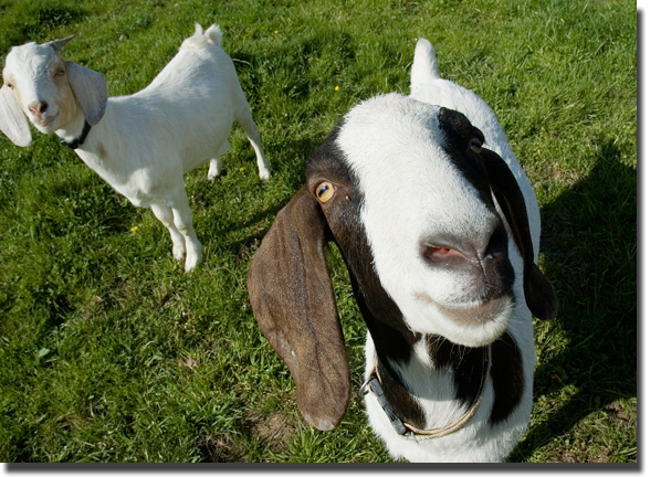 Cheeky_goat_blog