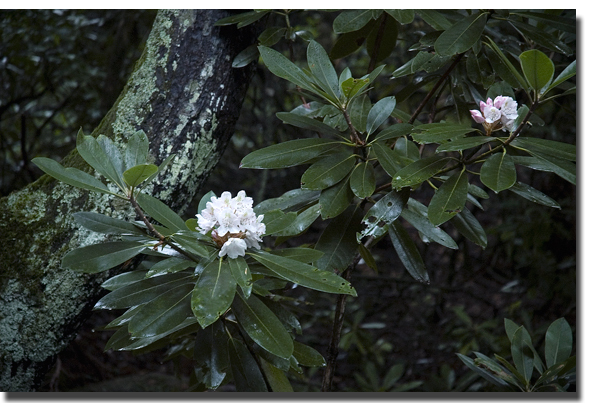 Rhodies_blog