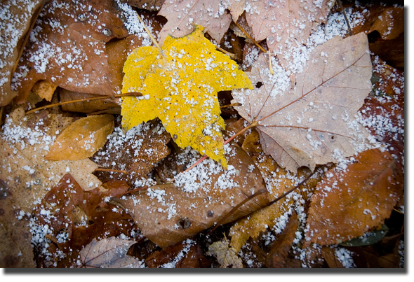 Snow_leaves