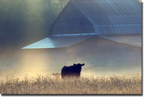Cattle_shadow