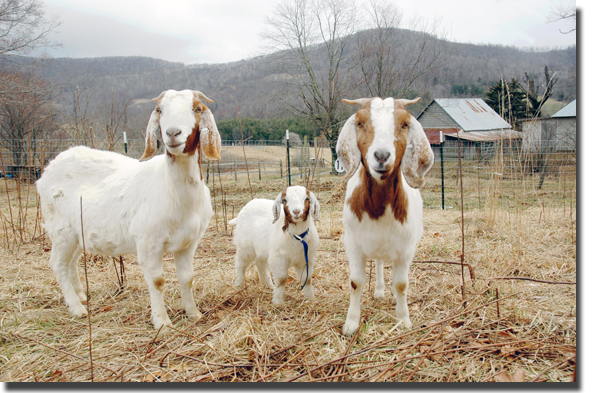 Family_goats_blog_1