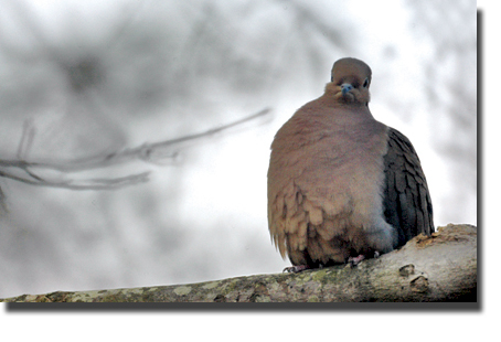 Mouring_dove_1